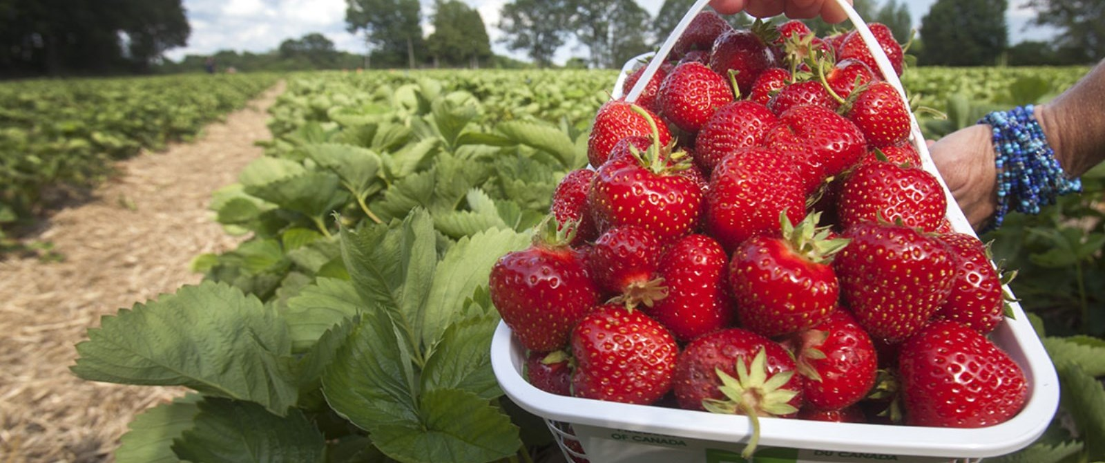 strawberries in a basket in the field