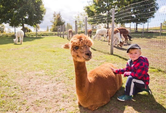 child petting an alpaca